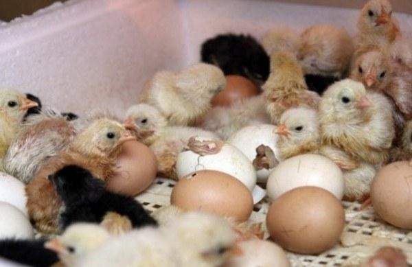계란에서 닭이 부화하다.