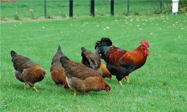 달리는 닭