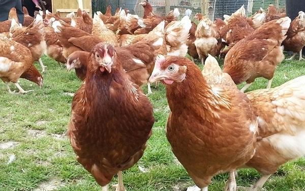 닭로도 나이트