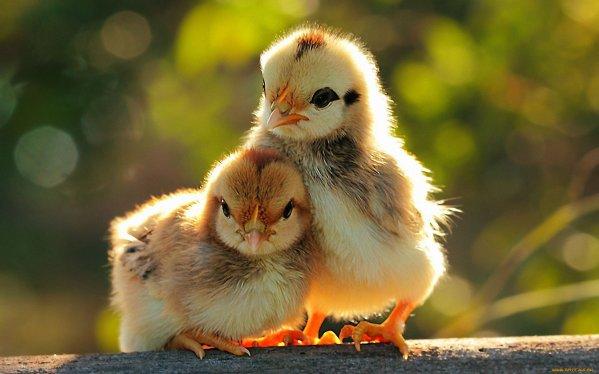 집에서 키우는 닭