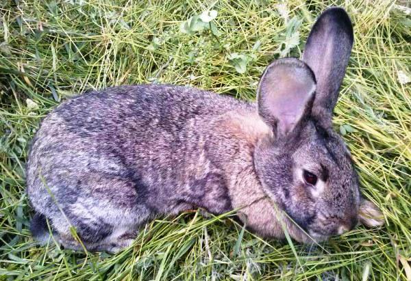 토끼의 콕시듐증