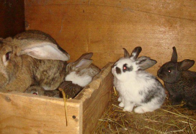 임신 토끼