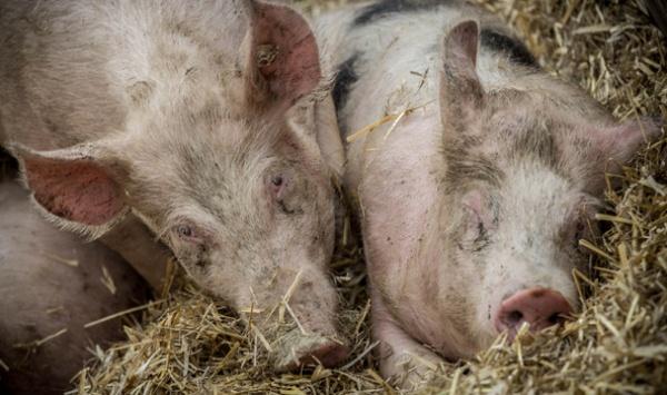 아프리카 돼지 열병