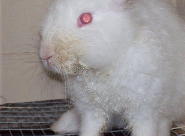 토끼의 전염성 구내염