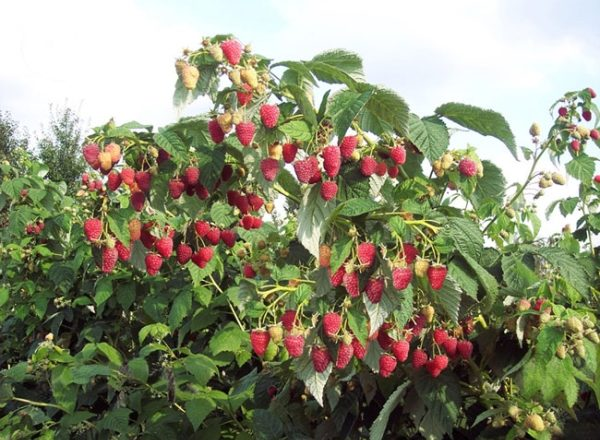 나무 딸기 Tarusa : 다양한 묘사, 설치 및 배려