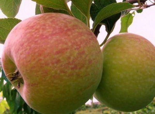 사과 나무의 다양성 사탕 : 묘사 특성, 설치 및 관리 규칙