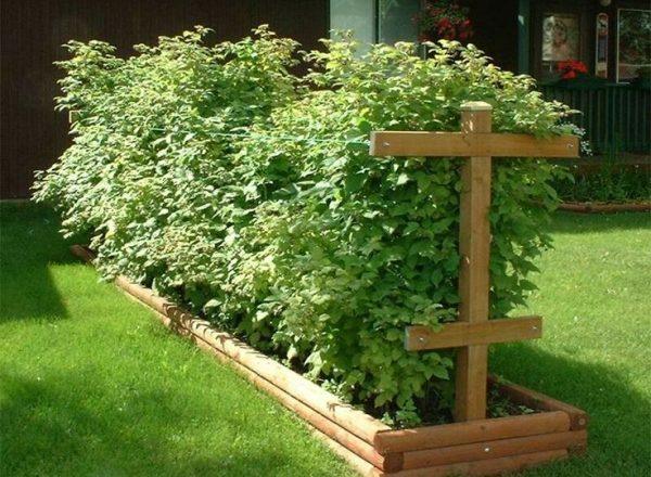 나라에서 나무 딸기를 재배하는 방법 : 식목 및 관리의 규칙과 방법