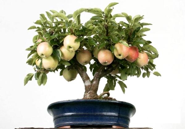 집에서 씨앗에서 사과 나무를 재배하는 방법 : 지침