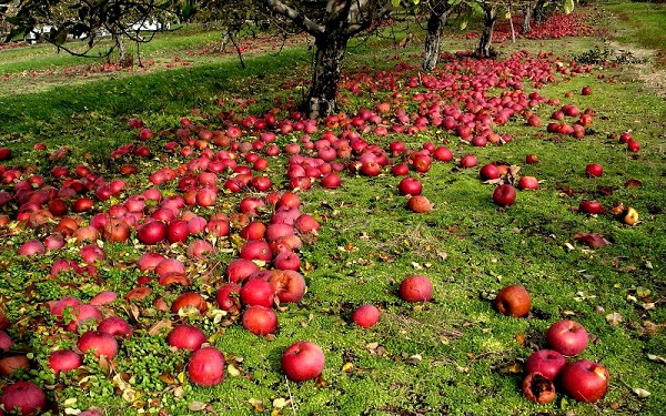 사과 가을의 원인