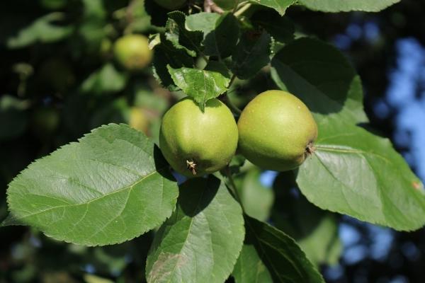 설탕 사과를 어떻게 할 수 있습니까?