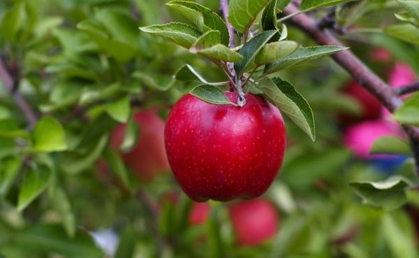 사과를 심는시기와 방법 : 유용한 정보와 단계별 지침