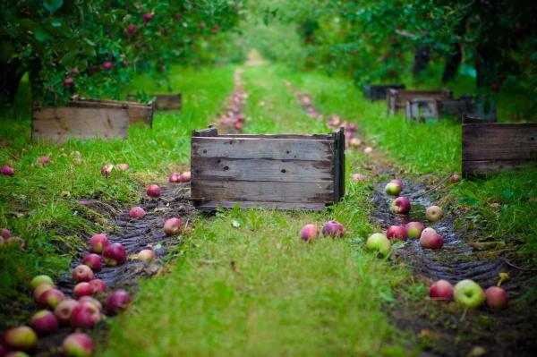 겨울철 저장을 위해 사과를 언제 어떻게 수집 할 것인가?