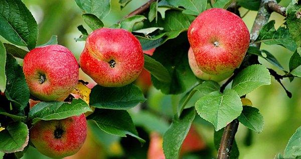 사과 나무 Bellefle Chinese