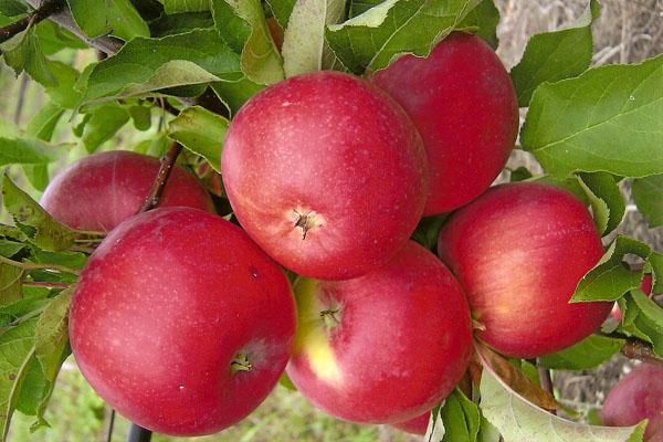 사과 나무 Welsey의 과일