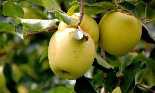 황금 사과