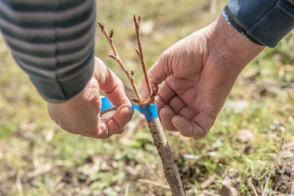 매실 종묘의 방법 및 특성 : 종자, 녹색 자르기, 뿌리 싹 및 접목