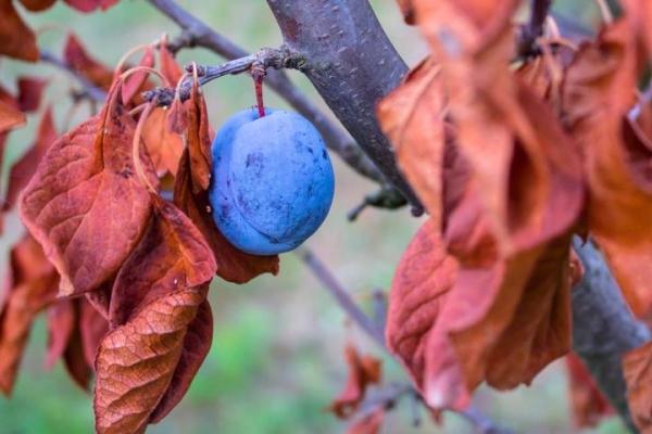 가을에 매실의 적절한 관리 : 필요한 조치