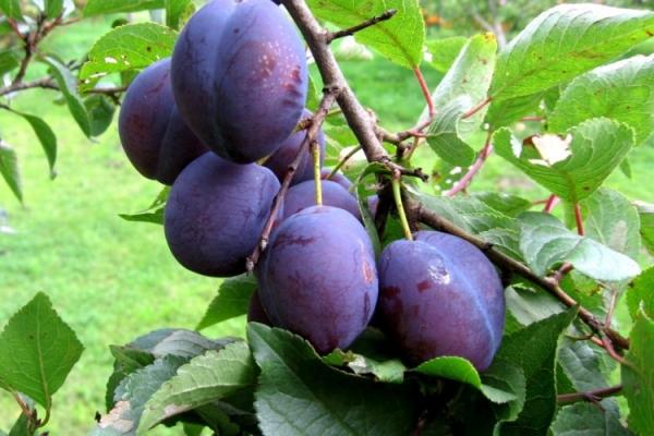 왜 매실은 과일을 맺지 않고 그것에 대해 어떻게해야합니까?