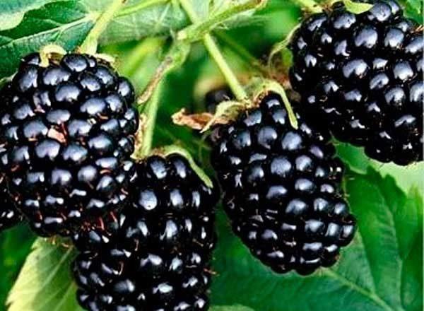 검은 딸기 Natchez