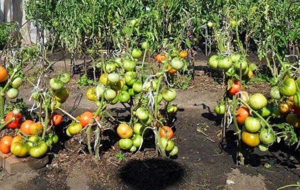 햇빛 아래서 그늘에서 갑자기 토마토를 용납하지 마십시오.