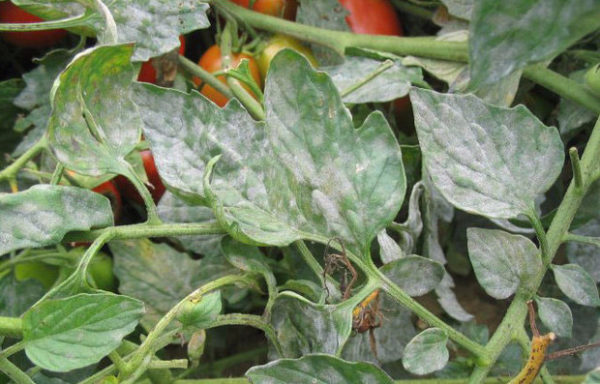 파우더 곰팡이 잎