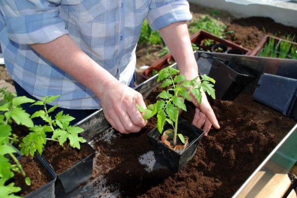 토마토 모종 관리