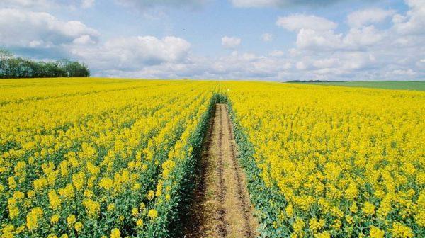 시더 라트 (canola)는 종종 밭에 심어진다.