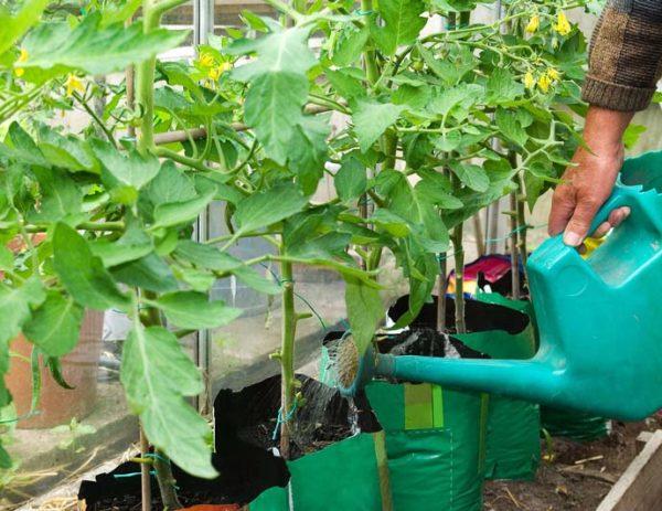 토마토 이식 후 물을주기