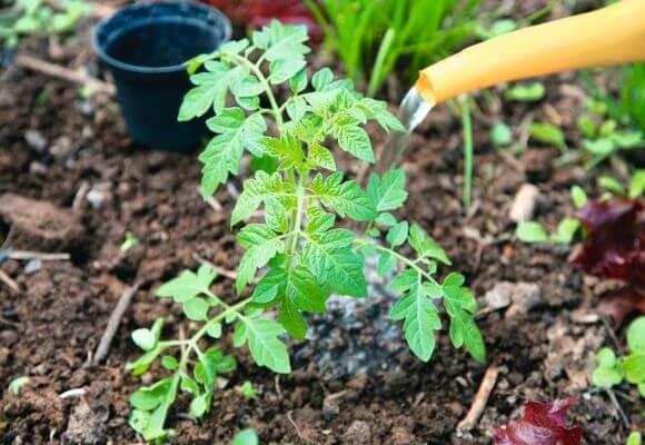 성장을 향상시키기 위해 토마토를 비료 혼합 물에 공급할 수 있습니다.