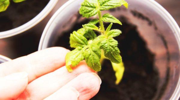 토마토의 노란 잎 가까이