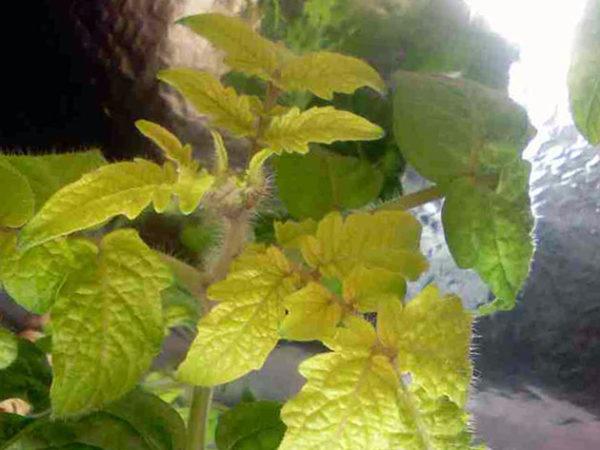 질소가 부족하기 때문에 식물의 잎은 약화되고 황색으로 변하기 시작합니다.