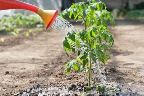 토마토 묘목을 먹이는 법