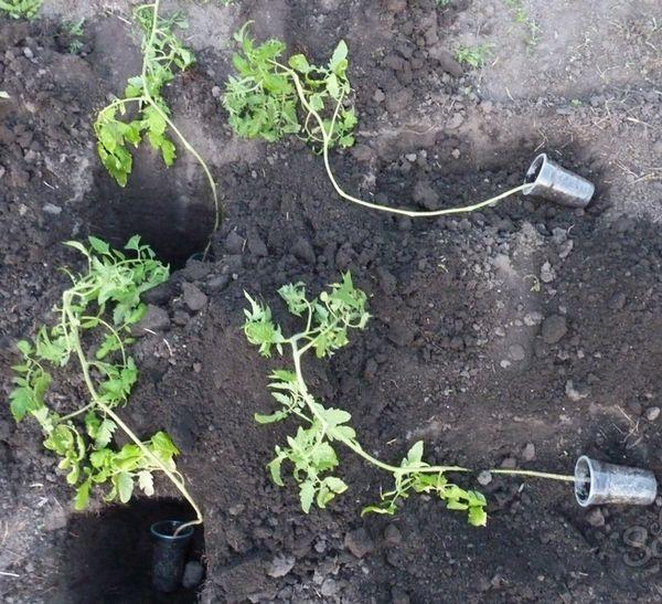 자란 토마토 묘목을 심는 방법