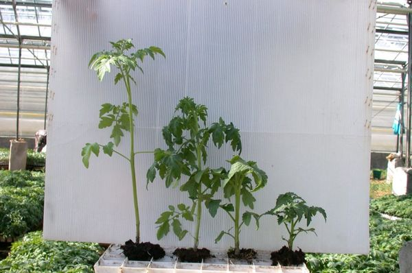 매우 자란 묘목은 약 50-60 cm의 높이를 가지고있다.