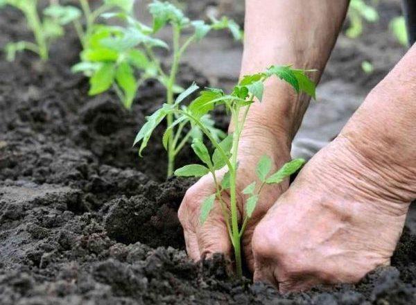 온실에 묘목 토마토 이식