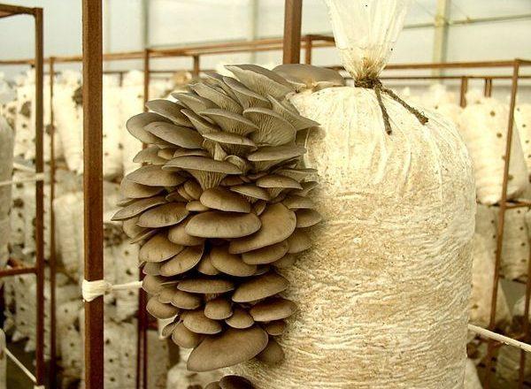 집에서 성장하는 굴 버섯