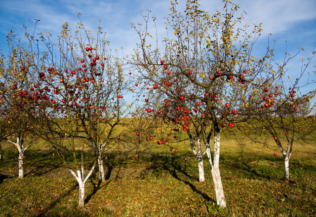 가을의 최고 드레싱 사과 나무