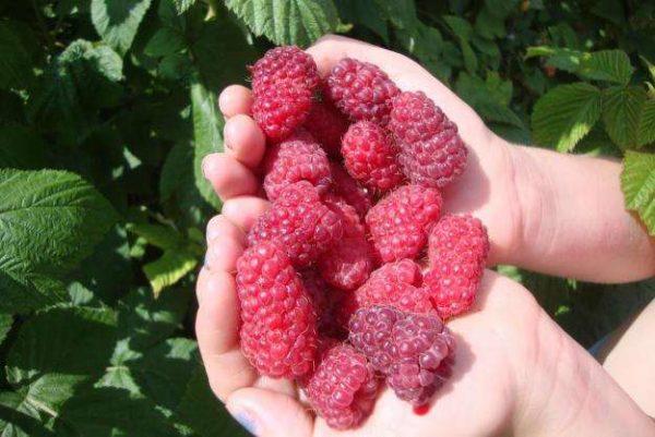 러시아의 라즈베리 아름다움의 큰 과일