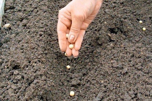 야외에서 완두콩을 재배하는 조건은 해당 지역의 기후에 달려 있습니다.