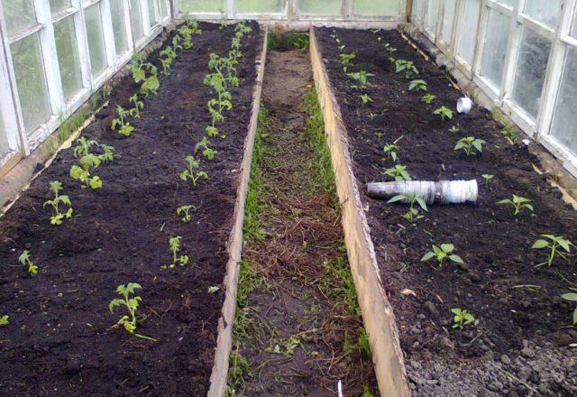 시베리아의 온실에 토마토를 심을 때